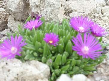 Pflanzen in nanopics pflanzen steingarten sukkulenten arten - Pflanzen fur steingarten winterhart ...