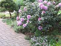 garten rhododendron pflege zur ckschneiden rhododendron d nger. Black Bedroom Furniture Sets. Home Design Ideas