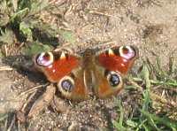 Schmetterling Raupen Heimische Schmetterlinge Im Garten Fördern Blumen Schmetterlinge Im Garten