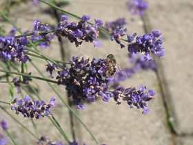 Lavandula Angustifolia Lavendel Standort Pflege Pflanzen Ruckschnitt