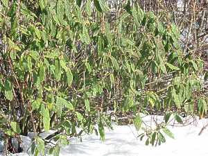 viburnum rhytidophyllum runzelbl ttriger schneeball zungen pflege. Black Bedroom Furniture Sets. Home Design Ideas