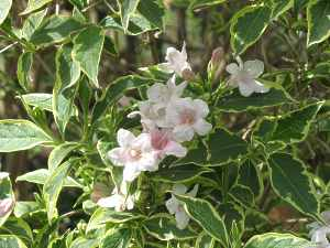Weigelie rosa//weiß panaschiertes Laub 5 Stecklinge frisch geschnitten
