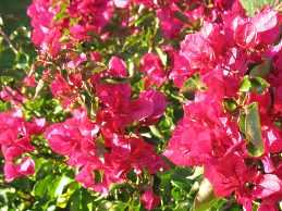 Bougainvillea Blumen Überwintern Bougainvillea Pflege Bougainvillee Exotische Pflanzen Garten Bougainvillea Drillingsblume