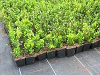buchsbaum vermehren 25 best ideas about buxus on pinterest buxus 1000 images about on. Black Bedroom Furniture Sets. Home Design Ideas