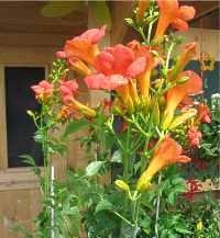 campsis radicans tagliabuana grandiflora trompetenblume. Black Bedroom Furniture Sets. Home Design Ideas