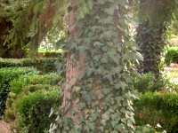 Garten efeu pflege pflanzen efeu sorten hedera helix - Efeu zimmerpflanze giftig ...