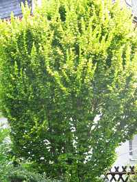 goldulme ulmus carpinifolia hollandica wredei schneiden krankheiten. Black Bedroom Furniture Sets. Home Design Ideas