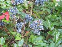 Mahonie Mahonia Aquifolium Apollo Compactum Mahonia Repens