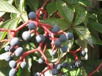 wilder wein quinquefolia parthenocissus tricuspidata. Black Bedroom Furniture Sets. Home Design Ideas