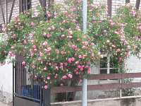 garten strauchrosen rosen gro rosenrosenstr ucher. Black Bedroom Furniture Sets. Home Design Ideas