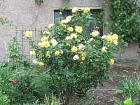 strauchrosen rosenstock rosenstrauch strauchrose rose online. Black Bedroom Furniture Sets. Home Design Ideas