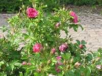 garten wildrosen buschrosen heckenrosen wild rose schneiden. Black Bedroom Furniture Sets. Home Design Ideas