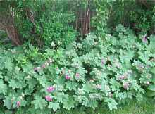 balkan storchschnabel geranium macrorrhizum spessart ingwersen. Black Bedroom Furniture Sets. Home Design Ideas