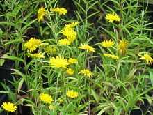 buphthalmum salicifolium weidenbl ttriges ochsenauge rindsauge. Black Bedroom Furniture Sets. Home Design Ideas