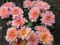 chrysantheme margerite winteraster wucherblume chrysanthemum. Black Bedroom Furniture Sets. Home Design Ideas