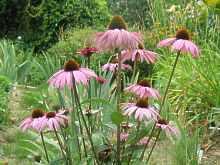 rote sonnenhut echinacea purpurea angustifolia pflanzen pflege. Black Bedroom Furniture Sets. Home Design Ideas