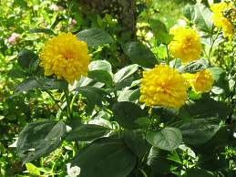 stauden sonnenblume pflanzen pflege helianthus decapetalus annuus. Black Bedroom Furniture Sets. Home Design Ideas