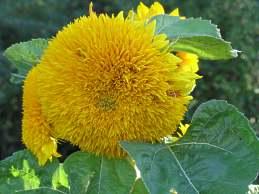 stauden sonnenblume pflanzen pflege helianthus decapetalus. Black Bedroom Furniture Sets. Home Design Ideas