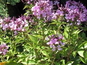 spinnenblume aussaat pflege cleome spinosa spinnenpflanze. Black Bedroom Furniture Sets. Home Design Ideas