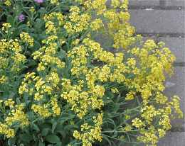 Plant Profile for Aurinia saxatilis Gold Ball  Perennial